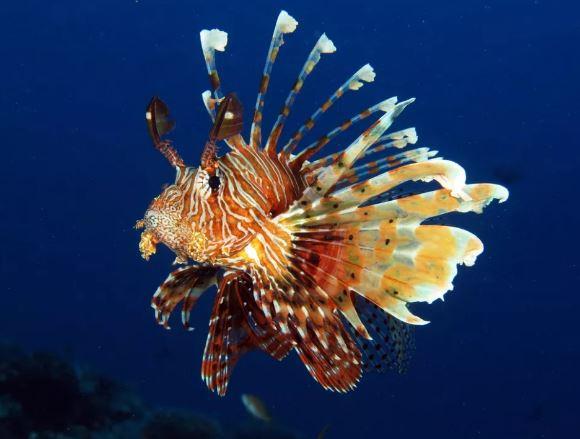 Lionfish: देखने में खूबसूरत मछली इंसानों को पंगु बनाने में सक्षम, डंक मारने से हो सकता लकवा