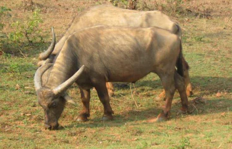 Manda Buffalo:ओडिशा की मांडा भैंस को मिली राष्ट्रीय पहचान, इन इलाकों में पाई जाती है