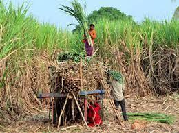 गन्ने की एफआरपी बढ़ने से गेहूं-सरसों से भी बढ़ेगी किसानों की आमदनी: सरकार ने एमएसपी में किया इजाफा