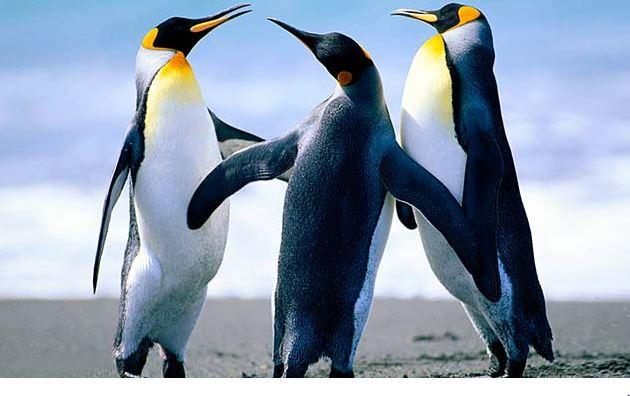 मधुमक्खियों के झुंड ने लुप्तप्राय पेंगुइन पर बोला हमला, 63 की हो गई मौत